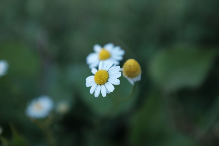 Beauty In Nature Camila Camilla Camille Healing Healing Herbs Heilkräuter Herb Herbal Medicine Herbs Kamila Kamilla  Kamille Kamillenblüten Medicinal Plant Medicine Nature Nature On Your Doorstep Nature Photography Nature_collection Naturelovers Naturephotography Outdoors Plant Plants