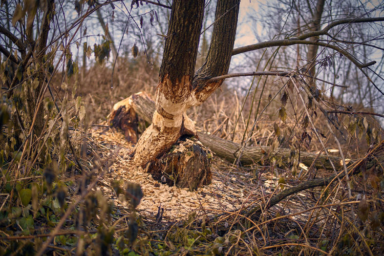 Ein neuer Nachbar..... A new neighbor ..... Bare Tree Beauty In Nature Beaver Beaver Work Branch Day Dead Tree Forest Growth Nature No People Outdoors Tranquility Tree Tree Trunk
