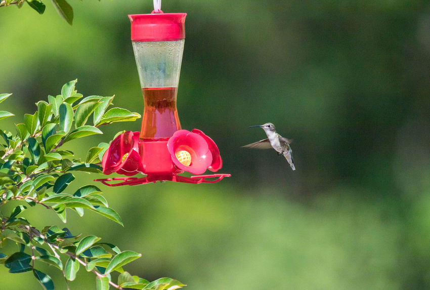 Hummingbird Animal Animal Themes Animal Wildlife Animals In The Wild Bird Bird Feeder Close-up Day Flying Focus On Foreground Green Color Hanging Hummingbird Nature No People Outdoors Plant Plastic Red Vertebrate