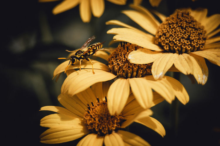 Close-up of wasp on yellow flower