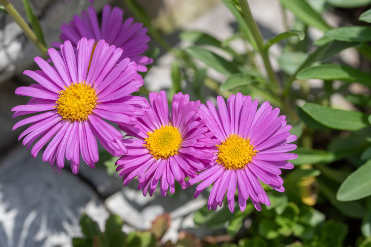 Bract Callistephus China Annual Aster Autumn Bed Bloom Blossom Botany Bright Bud Chinensis Cultivar Disc Fall Flora Florescence Florets Flower Foliage Garden Green Greenery HEAD Herb Herbaceous Inflorescence Leaf Light Lilac Mauve  Meadow Nature Ornamental Outdoors Park Pastel Petal Phyllaries Plant Pollen Purple Ray Season  Stem Summer Vegetation Vibrant Violet