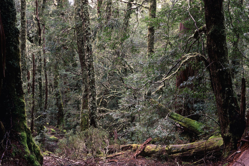 atmospeheric green woodland grade with moss and lichen covered trees Australia Footpath Forest Geenery Green Growing Hike Lichen Moss Mossy Overland Track Tasmania Tassie The Overland Track Trees Walk Walkway Wood