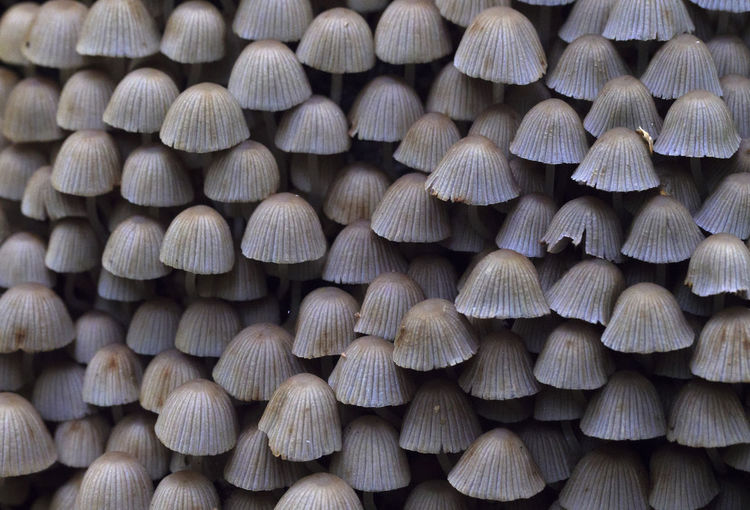 Large group of poisonous mushrooms as background in the forest. Abundance Backgrounds Brown Close-up Day Detail For Sale Forest Full Frame Large Group Of Objects Nature No People Outdoors Pattern Repetition Stack Still Life Textured  Tree; Forest; Nature; Woods; Mushroom; Fungus; Toadstool; Autumn; Moss; Agaric; Stump; Poisonous; Trunk; Summer; Fall; Season; Boletus; Raw; Grass; Organic; Forest; Nature; Woods; Mushroom; Fungus; Toadstool; Moss; Agaric; Stump; Poisonous; Trunk; Summer; Wood Wood - Material