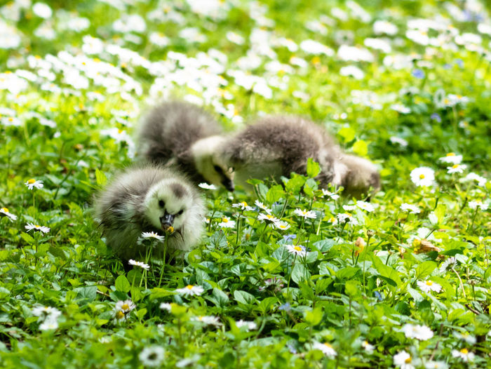 Barnacle goose gosling Wildlife Wildlife & Nature Wildlife Photography Young Small Cute Barnacle Goose Germany NRW Bottrop Flower Young Animal Bird Young Bird Gosling Animal Themes Grass Plant Close-up Duckling Goose Greylag Goose Geese Flock Of Birds Migrating Water Bird Animal Family Chick Duck