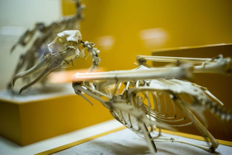 Bones Close Up Close-up Detail Elephant Evolution  Focus On Foreground Freshness History Indoors  Mammel Museum Natural Natural History Museum No People Selective Focus Skull Smithonian Still Life Table Washington Washington, D. C. White