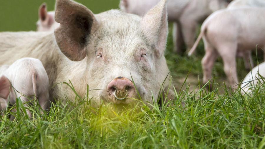 Happy Pigs Animal Animal Themes Grass Pig Nature Outdoors Happy Piglet 🐷🐽 Piglets Pork Pork Meat Piggy Farming Farming Life Livestock No People
