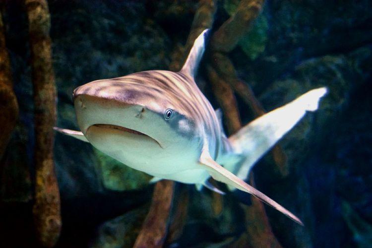 Shark In Fish Tank At Aquarium