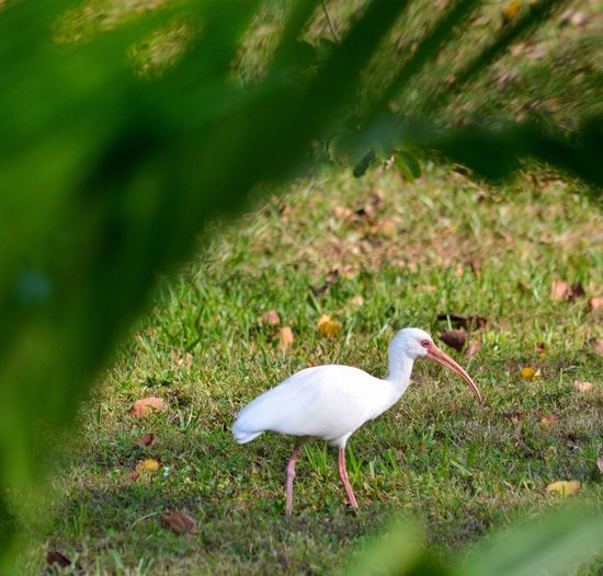 Natural Grub Control NO Pesticides!!! Ibis In Our Backyard Foraging Natural Framing Looking Through