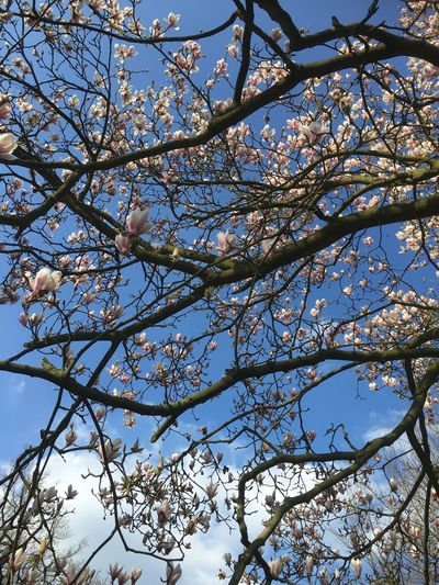 Blossom Bloesem Tree Boom Voorjaar Spring Clouds And Sky Wolken Lucht Sky Blue Sky Blauwe Lucht Showcase April