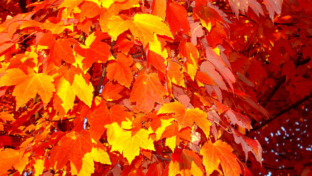 red, yellow, and orange strike the eye and bring moments of tranquility. Autumn Autumn Beauty In Nature Branch Bright Change Close-up Cool Day Fall Colors Growth Home Leaf Leaves Maple Nature Orange Color Outdoors Red Season  Tranquility Tree Yellow