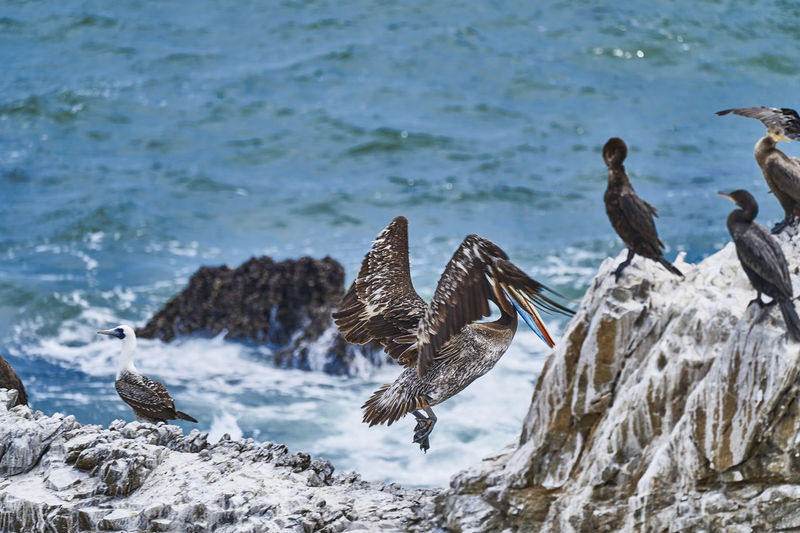 Peruvian pelican, pelecanus thagus and guanay cormorant or guanay shag, leucocarbo bougainvillii