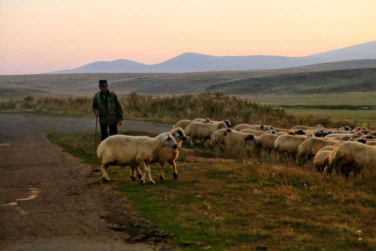 Farmer Grazing Sheep On Field During Sunset