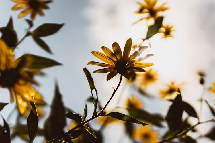 Fall Colors Sunflower Fall Beauty Fall Leaves Fall Farm Autumn Flowering Plant Growth Beauty In Nature Plant Flower Close-up Vulnerability  Freshness No People Nature Sunlight Inflorescence Fragility Focus On Foreground Selective Focus Petal Flower Head Day Yellow Outdoors