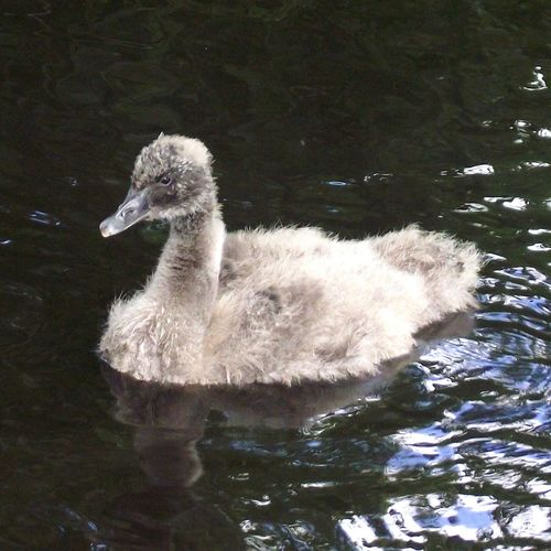 Cygnet Swan Grey Sygnet Birds_collection Walking Around Femalephotographerofthemonth Bird Photography
