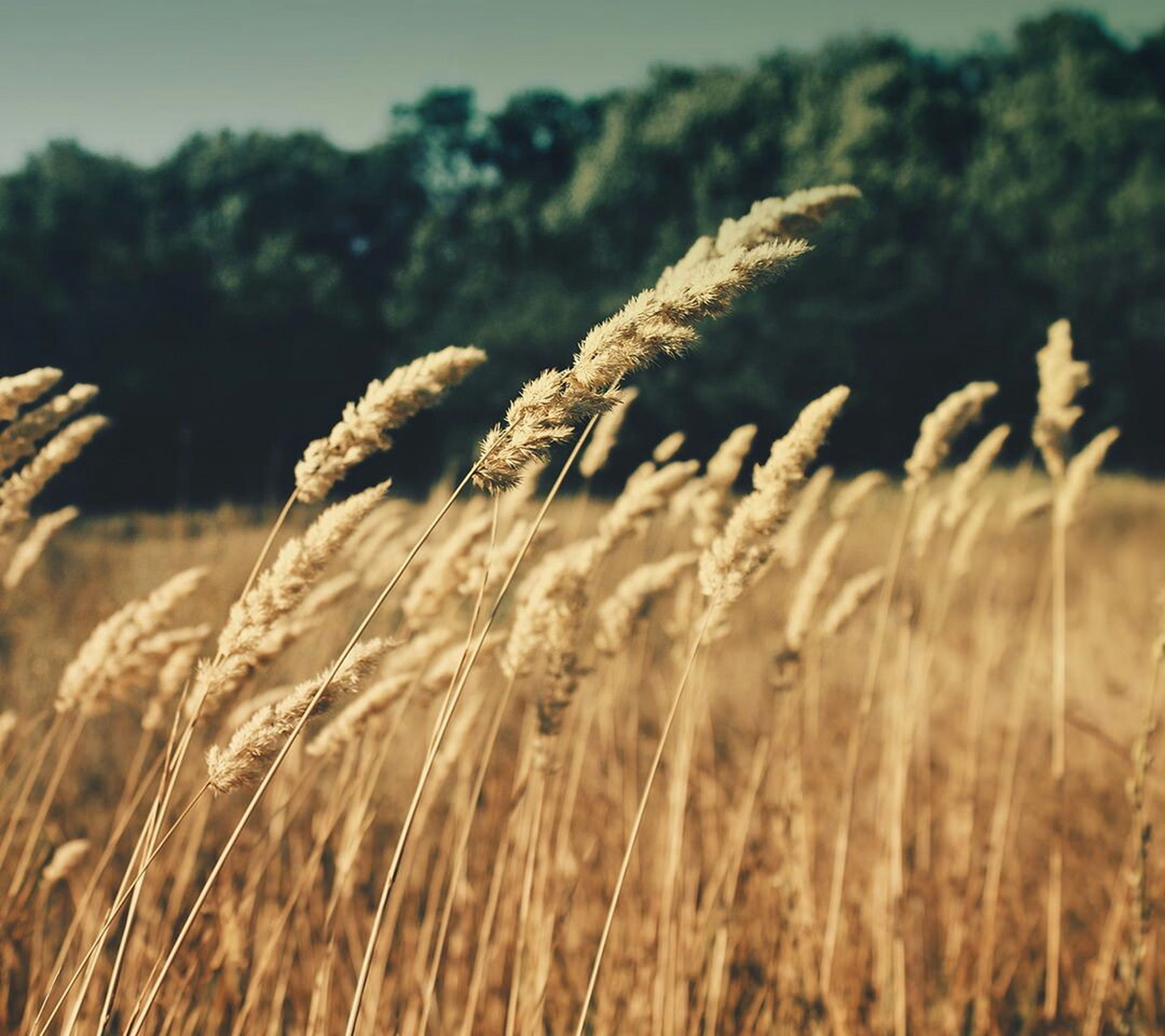 growth, focus on foreground, close-up, selective focus, nature, field, plant, tranquility, beauty in nature, grass, agriculture, wheat, growing, day, crop, cereal plant, dry, outdoors, farm, no people