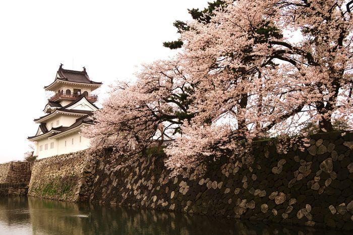 Toyama-shi Toyama Cherryblossom 桜 Castle 富山 富山城 Amazing Beautiful