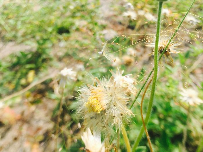 Focused On Dandelion 👀 Flower Nature Dandelion Growth Plant Delicate Uncultivated Fragility Freshness Beauty In Nature