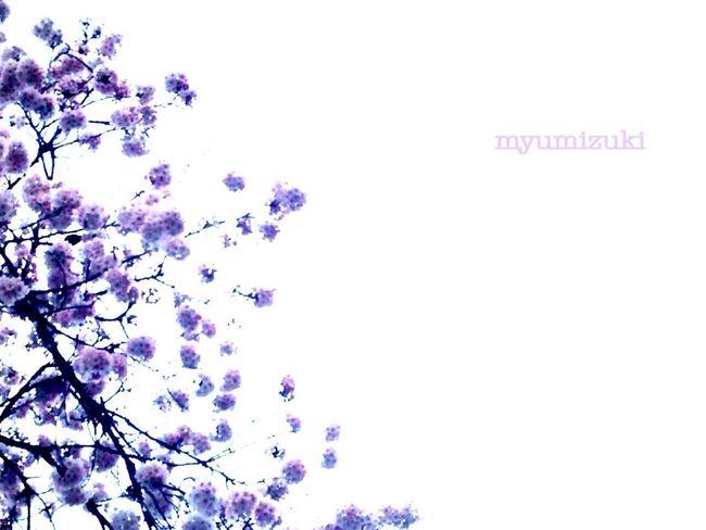 Premonition nice ✨ begins ♡ ……素敵❤️が始まる予感✨♬ 桜 サクラ 春 **ふらわぁ** EyeEm Gallery Spring Flowers Sakura Flower Japan Nice Day
