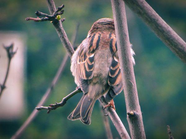 🙄dreh Dich doch mal um Kleiner Simple Beauty For My Friends😚 Sparrow In A Tree Springtime Lucky Me🦄 Beautiful Nature Beauty At My Doorstep Love Springtime Bird Photography Birds Of EyeEm  Bird Close-up Animal Themes