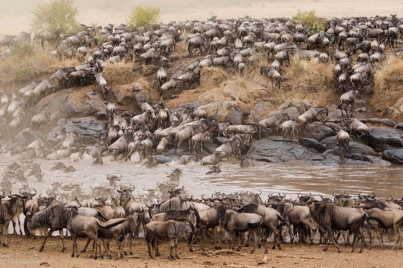 Animal Themes Animals In The Wild Wildlife Animal Safari Animals Kenya Afrika Maasai Mara Nature Water Wildbeast River WildBeasts Nature Photography