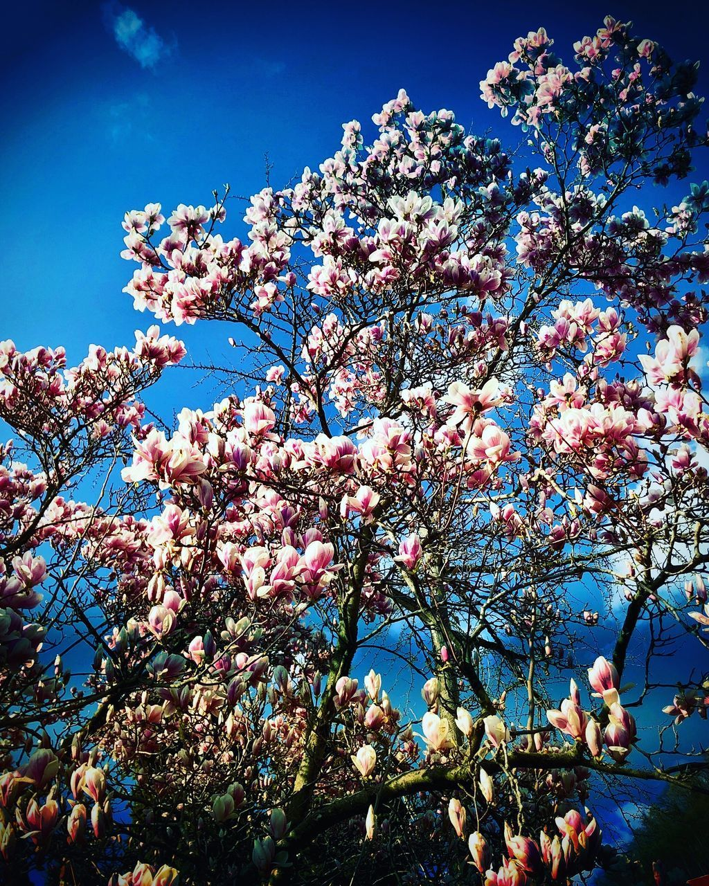 flower, plant, flowering plant, tree, growth, sky, branch, blossom, low angle view, beauty in nature, freshness, fragility, nature, pink color, day, springtime, vulnerability, blue, clear sky, sunlight, no people, outdoors, cherry blossom, cherry tree, spring