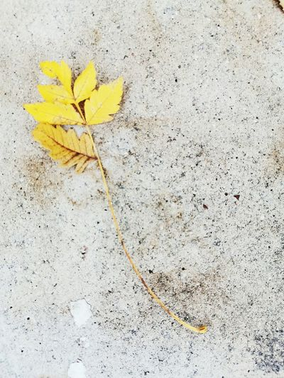 High angle view of yellow flowering plant on footpath