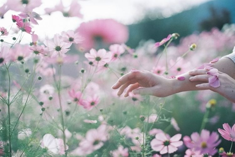Close-up of hand touching pink flowers