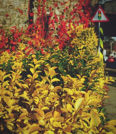 Red Green and Yellow ... Close-up Plants Town Fall осень Newtown Powys Autumn Nature Wales Surreal Colors Colours краски  листья Leaves Otoño Road Sign дорожные знаки