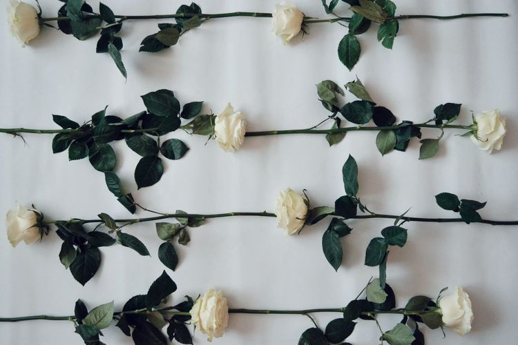 Flower White Background White Color Beutiful  Rose - Flower Rose🌹 White Rose Growing Blooming Leaf Vein Fragility In Bloom Flower Head