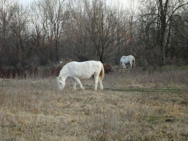Horses Domestic Animals Beauty In Nature Outdoors Lonjsko Polje Croatia ❤