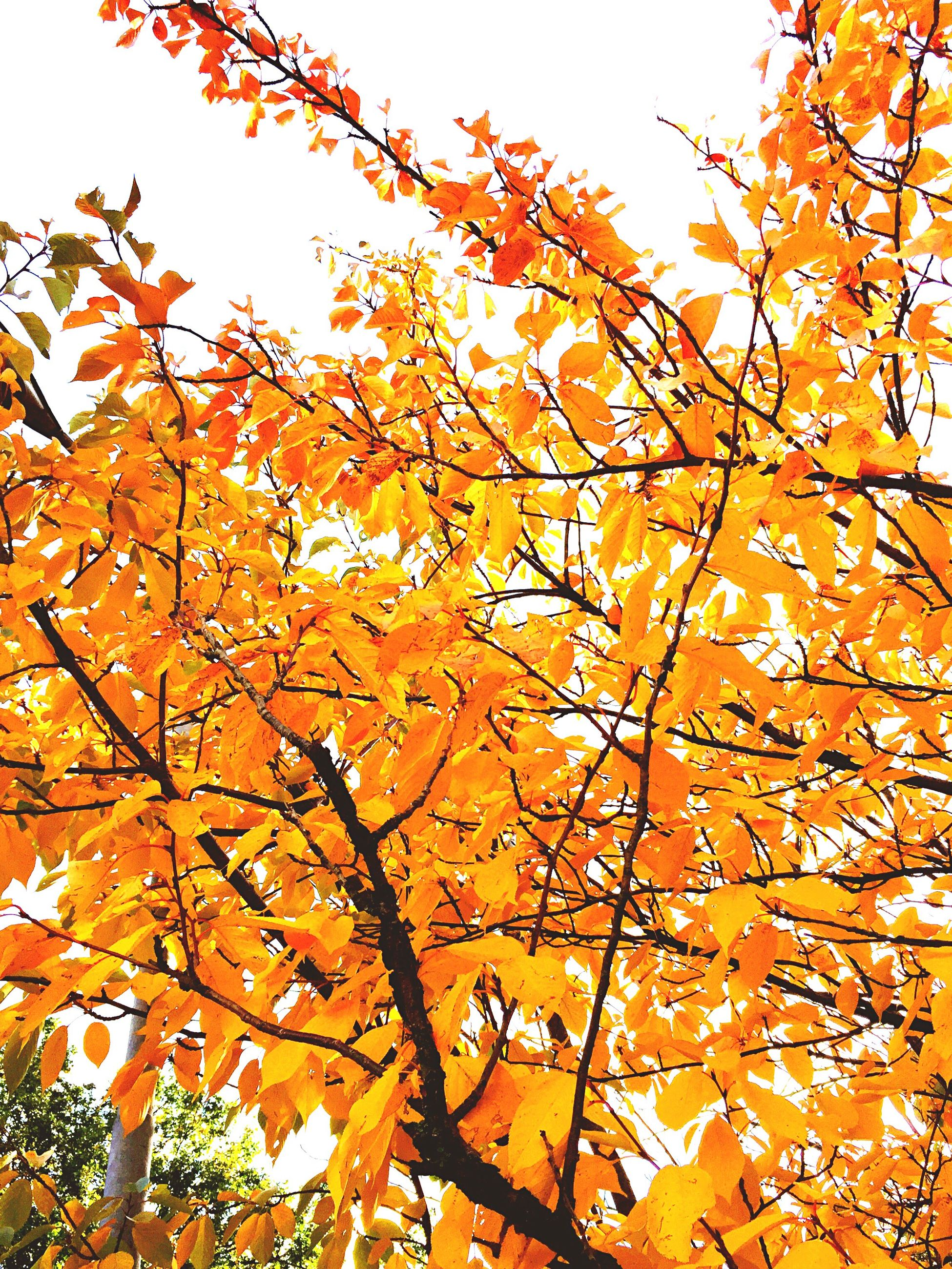 autumn, change, tree, low angle view, growth, season, yellow, leaf, branch, clear sky, beauty in nature, orange color, nature, day, outdoors, no people, flower, vibrant color, tranquility, sky