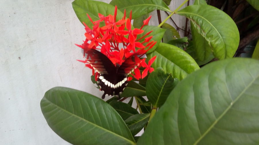 Watch the video on my instagram page madhuri_nomula Flower Freshness Fragility Plant Growth Red Leaf Green Color Beauty In Nature Petal Nature In Bloom Flower Head Botany Green Blossom Bloom Glitch Fluttery Butterfly Red Flowers Bunch Of Flowers Butterfly On A Flower Butterfly