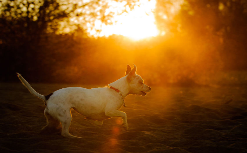 Side view of playful dog on field during sunset