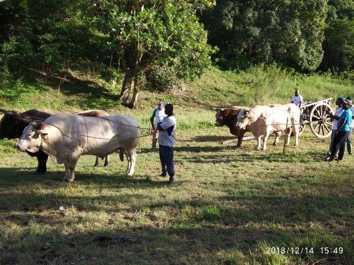 Tree Men Cow