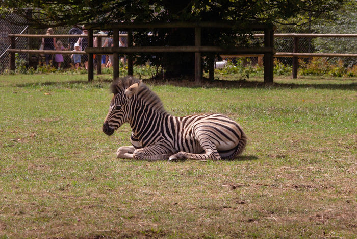 Zebra Striped Mammal Herbivorous Outdoors Day Baby Young Animal