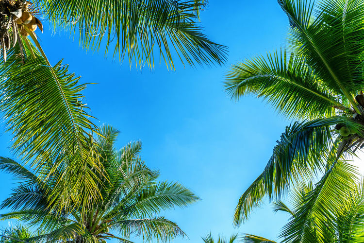 Coconut Palm trees. Tropical background. Tree Palm Tree Plant Tropical Climate Sky Green Color Growth Leaf Beauty In Nature Palm Leaf No People Low Angle View Tranquility Nature Blue Clear Sky Day Plant Part Tropical Tree Backgrounds Outdoors Coconut Palm Tree Directly Below Turquoise Colored