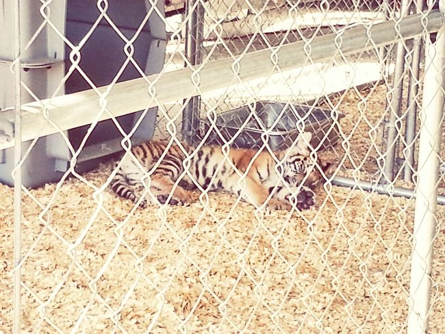 Tiger Beauty Stripes Tyga #cat #lockedup #lazy