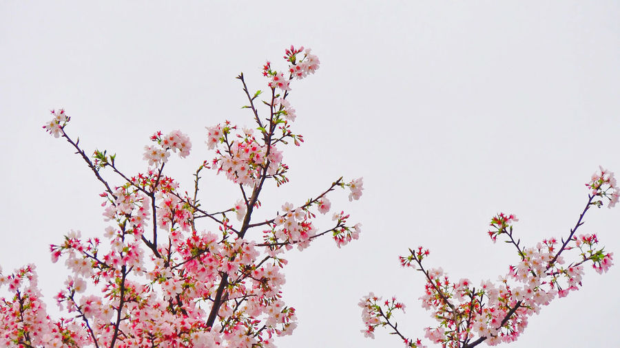 Blooming cherry blossom in Summer Japan Sakura Taiwan Backgrounds Beauty In Nature Blossom Branch Bunch Of Flowers Cherry Blossom Clear Sky Day Flower Flower Head Flowering Plant Fragility Freshness Low Angle View Nature Outdoors Pink Color Plant Sky Spring Springtime