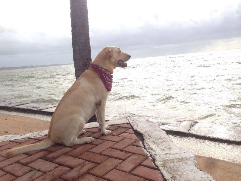 27/07/2017 - Peppa Dog at it's Beach PetsdoAri Labrador Pet Portraits