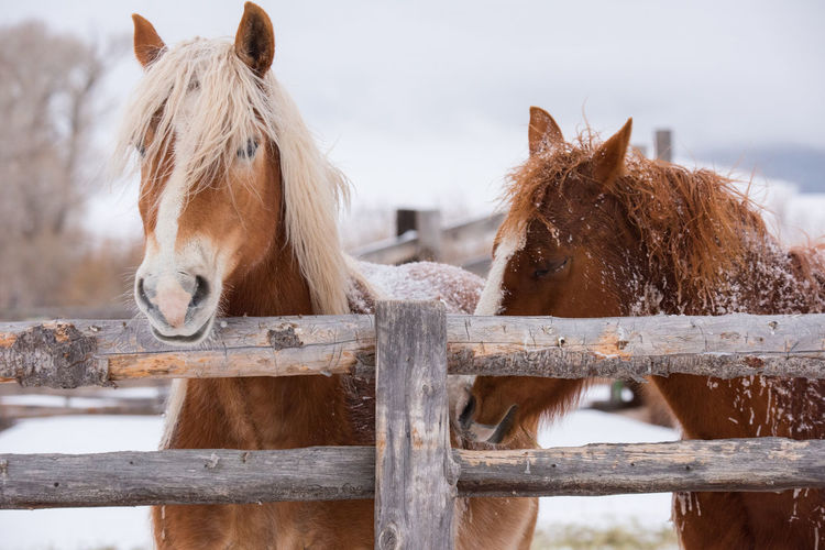 Feb 2019- Music Meadows Ranch Livestock Horse Mammal Domestic Animals Animal Animal Themes Vertebrate Fence Boundary Barrier Group Of Animals Brown Two Animals Herbivorous No People Focus On Foreground Animal Head  Ranch Paddock Outdoors Animal Pen Winter Wood Fence Domestic Field Pets