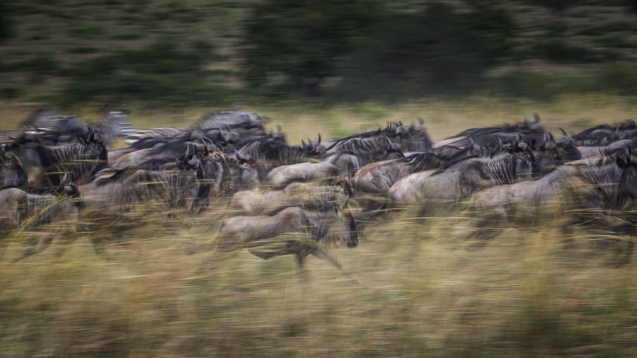 Flock of sheep running in a forest
