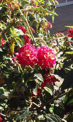 Seen in a walk through San Francisco's NOPA neighborhood No People Freshness Close-up San Francisco San Francisco, California Lantana Red Lantana Red Flower Red Flowers Red Flower Among Green Beauty In Nature Sunlight Wellbeing Outdoors Flower Red Blossoms Red Blossom