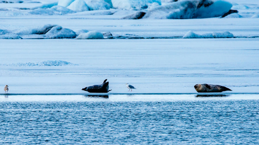Seals lying by a lake in the snow