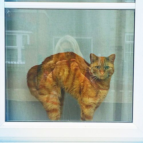 Scaredy cat Domestic Cat Domestic Animals Pets Animal Themes Cats Cat Scaredy Scared Arching Back Frightened  Fright Ginger Cat Indoors  Full Length Feline One Animal No People Day Inside Window Sill Sills