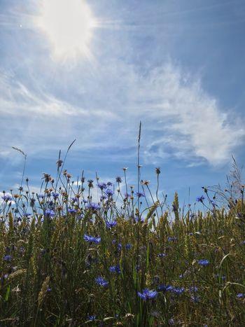 Landscape Nature Fields Flower Sky Outdoors SkyAndClounds Sunlight