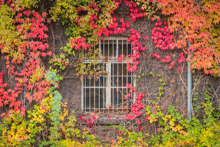 Red ivy on house with white window Flower Plant Flowering Plant Nature Multi Colored Pink Color Beauty In Nature Autumn Growth No People Outdoors Leaf Garden Architecture Red Plant Part Bush Blossom Tree Freshness Change Ornamental Garden