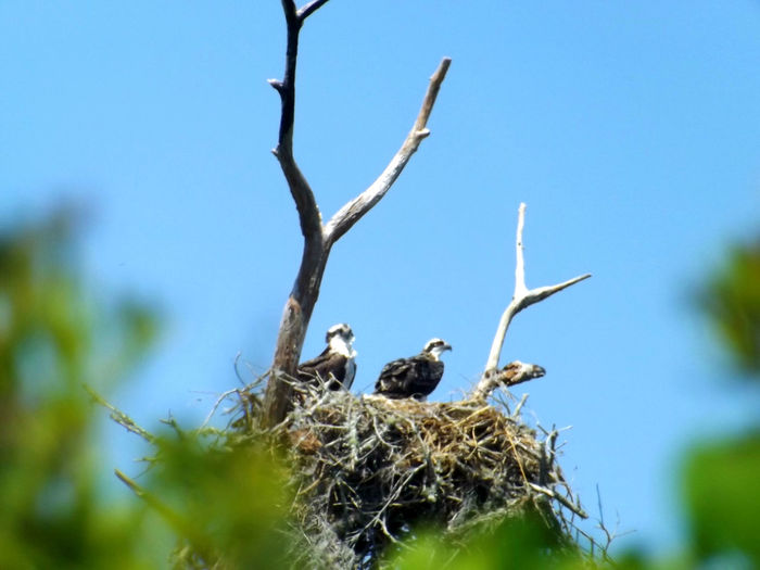 Blue Sky Looking Up Osprey Nest  Perching Selective Focus Storm Water Park, Sebastian, Fl The New Parents Wildlife