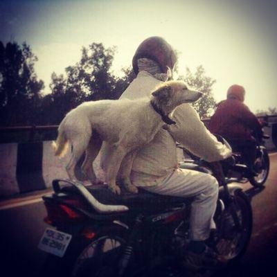 Now that's Mansbestfriend on the move Mind it they are on the move Dog Pet Pets Animal Animals Petstagram Petsagram Dogsitting Photooftheday Dogsofinstagram Ilovemydog Instagramdogs Lovedogs Hound Adorable Doglover Instadog Bike Motorcycle Indiapictures Incredibleindia India Indiatraveller