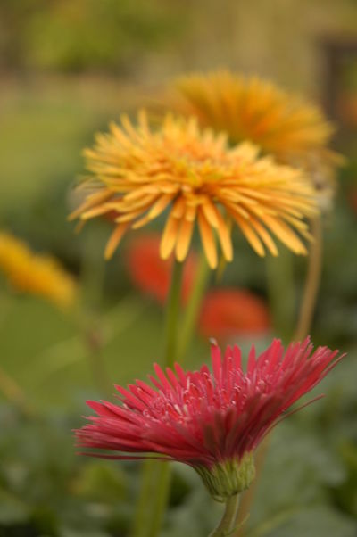 Beauty In Nature Blooming Blossom Close-up Daisy Flower Flower Flower Head Focus On Foreground Freshness Growth Hd Photo Nature Orange Color Plant Red Yellow