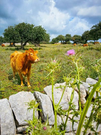 Open Air Cattle Feeding Ragusa Sicily Italy Travel Photography Travel Voyage Traveling Mobile Photography Nature Trees Shadows Flowers Thistles Architecture Stone Walls Sky CloudsMobile Editing